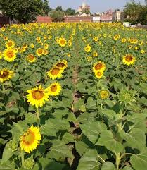 Delmar Gardens Family Have You Seen The Fields Of Sunflowers In Old North And Delmar