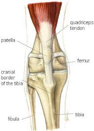 Knees Anatomy Dog Knee Injuries