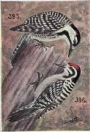 Red-cockaded Woodpecker.