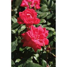 roses department store black friday ad shop 3 gallon double knock out rose lw02389 at lowes com