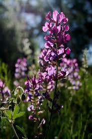 native alaskan plants 106 best fireweed images on pinterest alaska beautiful places