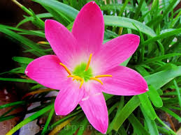 Rain Lily Cranium Bolts Rain Lilies Welcome The Monsoon