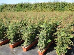 native hedging plants mixed native hedging readyhedge ltd
