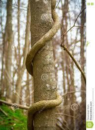 thick tree vine stock photo image 78298299