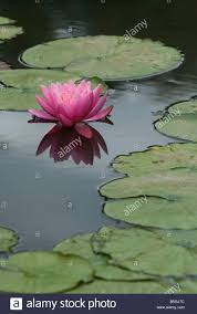 Melb Botanical Gardens by Pink Water Lily Melbourne Botanical Gardens Australia Stock