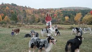 australian shepherd uses big read meet holster the world u0027s most famous agility dog