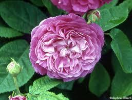 roses china darius china