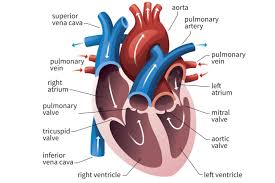 Anatomy Of The Heart And Its Functions Function Of The Heart Ventricles