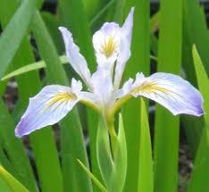 Iris by Iris Douglasiana Douglas Iris