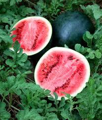 Sugar Baby Watermelon Bonnie Plants