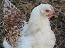 Backyard Chickens Com - 339 best chickens images on pinterest chicken breeds chicken