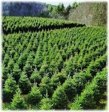 25 best christmas tree farm business ideas images on pinterest