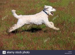 staffy x australian shepherd x breed dog stock photos u0026 x breed dog stock images alamy