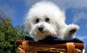 bichon frise dog breeders bichon frise training bichon frise puppies