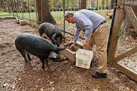 Backyard Pig Mangalitsa Pigs Will Now Be Bred In New Jersey Www Njmonthly Com