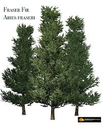 frasier fir tree seed by sheffield s seed co plants map