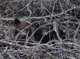 why missourians need to start thinking about black bears kcur