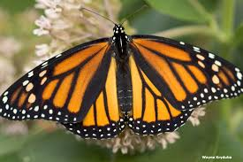 facts monarch butterfly characteristics