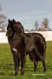 belgian sheepdog brown show results bonvivant belgian shepherds