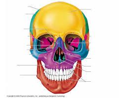 anterior skull bones purposegames