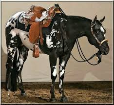 189 best leopard appaloosas images on pinterest beautiful horses