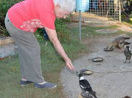 Magpie Birds In Backyards Magpies Swooping In For A Backyard Feed Sunshine Coast Daily