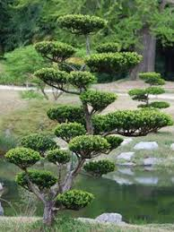 Topiary Cloud Trees - cloud pruning niwaki cloud pruning is pruning limbs in such a