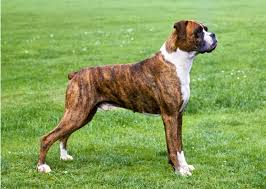 boxer dog las vegas dog breeds most likely to win westminster dog show 2016