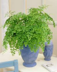 house plants that don t need light easy to maintain house plants maidenhair fern don t have much