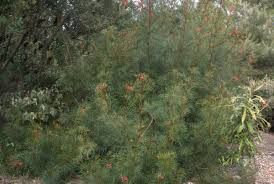 native plants for screening grevillea u0027bonfire u0027 australian native plants pinterest