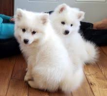 american eskimo dog breeders new york new york city dogs u0026 puppies for sale and wanted eclassifieds 4u