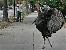 can turkey stand turkeys once unseen in massachusetts are showing up in big