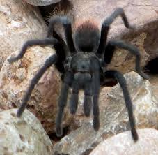 desert tarantula ghost32writer