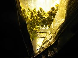 No Light Plants Stealth Growing How To Not Get Caught Growing Weed Grow Weed Easy