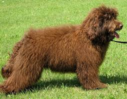 labradoodle hairstyles bad labradoodle haircuts hairstyles ideas