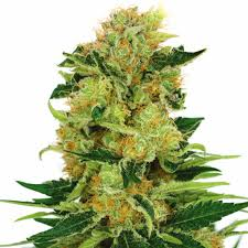 cannabis flower pineapple haze seeds guaranteed u s delivery u0026 germination ilgm