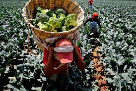 plants native to mexico product of mexico hardship on mexico u0027s farms a bounty for u s