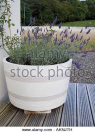 Half Barrel Planter by Half Barrel Planter With Climbing Roses U0026 Lavender Planting Stock