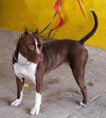 american pitbull terrier book red and white pitbull terrier nose pit bull books pinterest