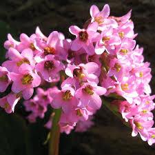 fleurs vivaces rustiques plantes vivaces bergenia purpurascens plante des savetiers