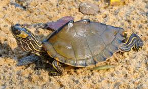 Ringed Map Turtle Graptemys Alchetron The Free Social Encyclopedia