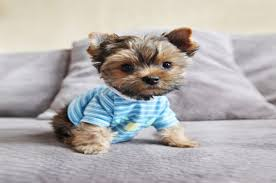 affenpinscher vs yorkshire terrier 7 types of adorable yorkie puppies teacupdogdaily