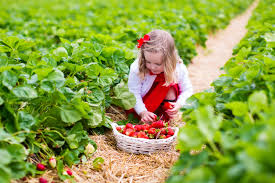 where to pick strawberries in the triangle