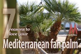 mediterranean fan palm tree mediterranean fan palm tree characteristics archives opportunity muse