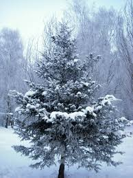 free images nature branch snow cold winter white