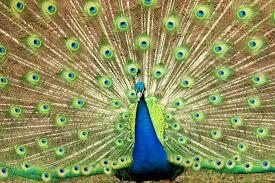 merak hijau gambar alam sayap hewan pria margasatwa kebun binatang