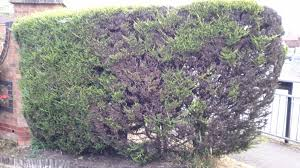 private hedge dying how to save them gardening forum