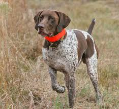 Do Brittany Spaniels Shed by Bird Dog Breeds Florida Sportsman