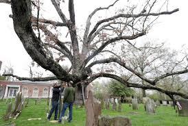 White Oak Beloved 600 Year Old White Oak Tree Takes Final Bow Boston Herald