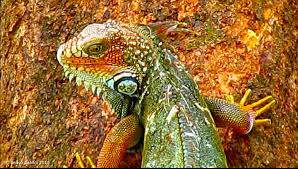 iguana in costa rica dragonheart totem animal iguana and